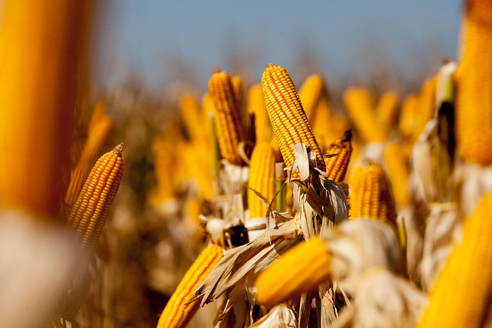 Confira como está a implantação de nova usina de etanol de milho